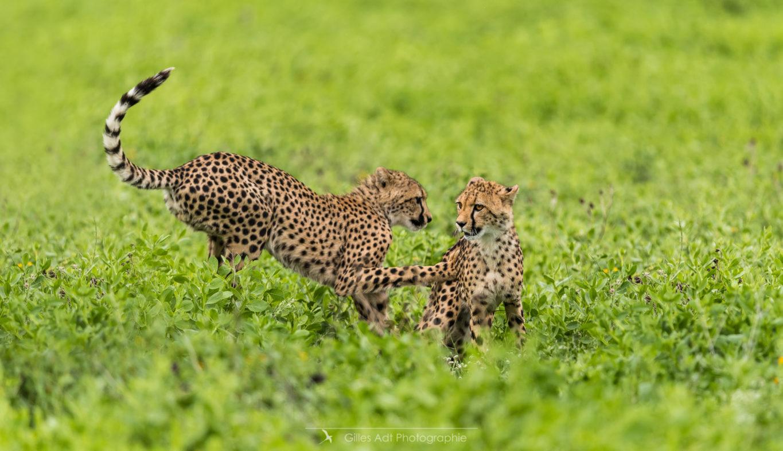 Deux jeunes guépards