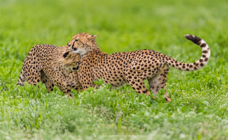 Câlin de guépard