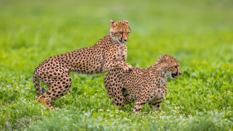 Le jeu des guépards