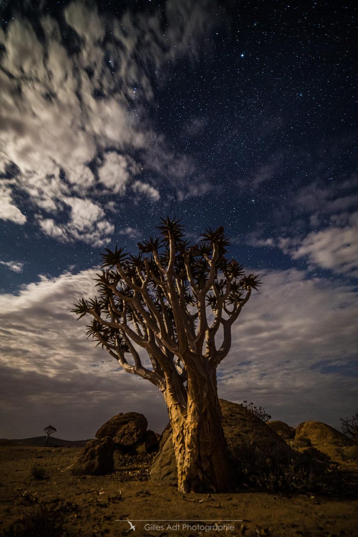 L'arbre à carquois sous les étoiles