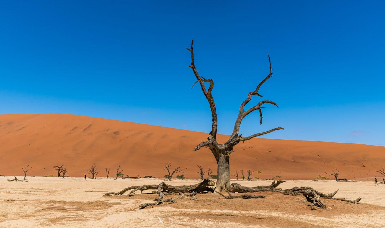 Acacias du désert
