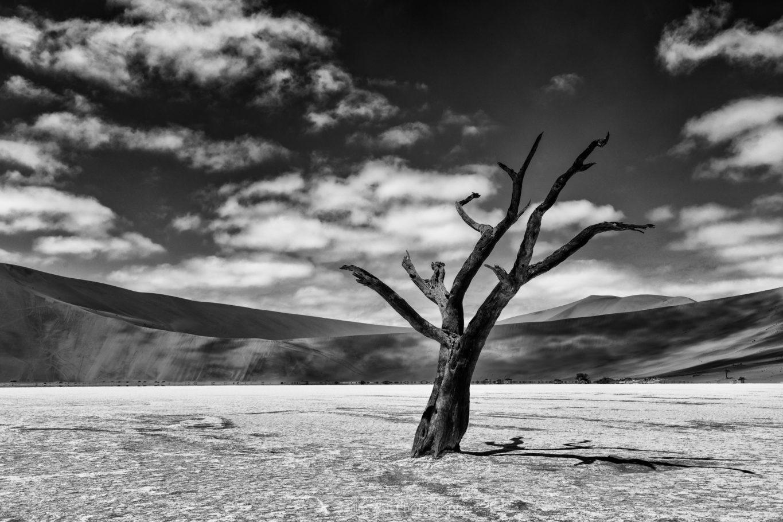 Acacia du désert