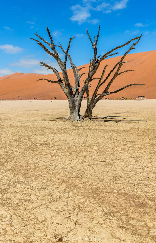 Un acacia du désert