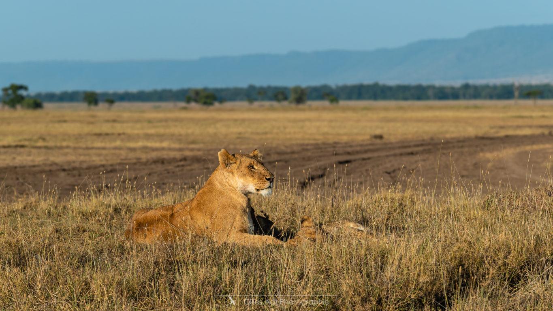 Lionne du Masai mara