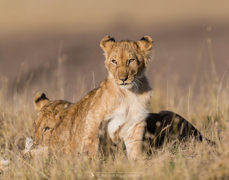Lionceau dans la savane