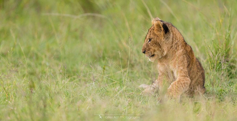 Le regard du lionceau