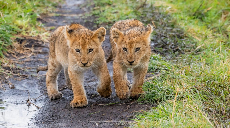 Lionceaux cheminant