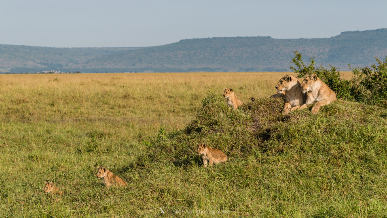 La famille lion
