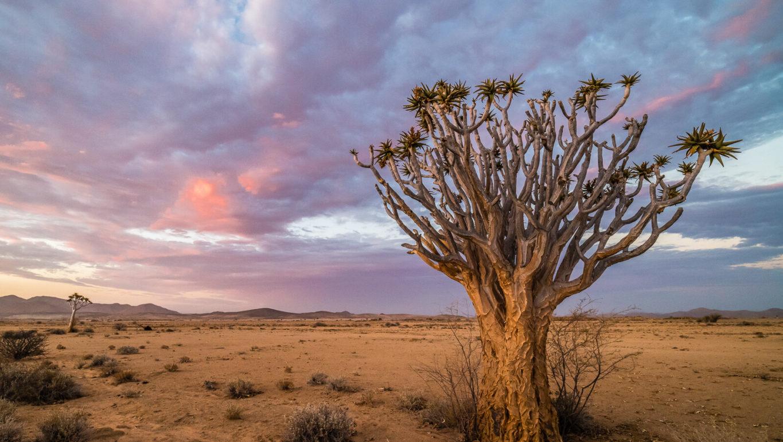 l'arbre à carquois (Aloidendron dichotomum)