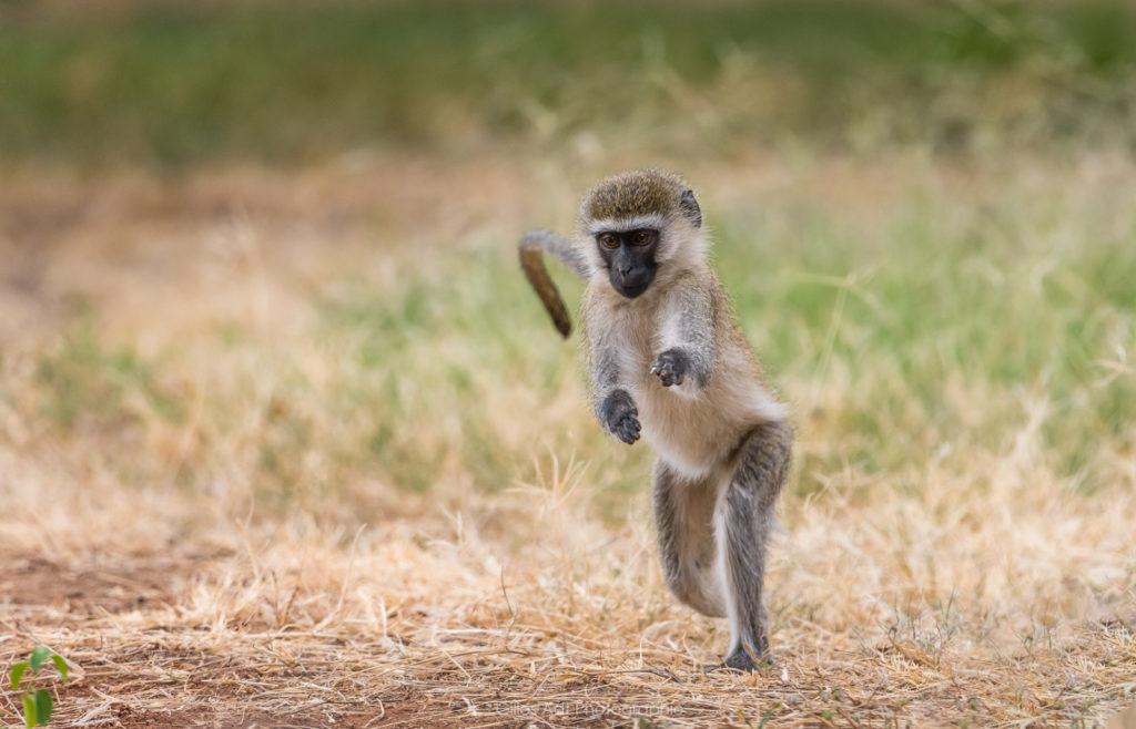 le singe vervet