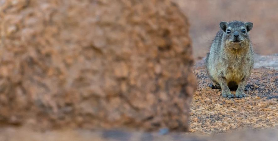 le Daman des rochers - Namibie