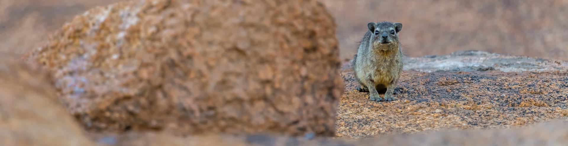 le Daman des rochers